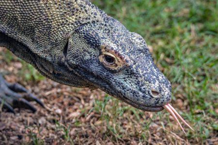 A tale of UNESCO, Komodo dragon and mass tourism