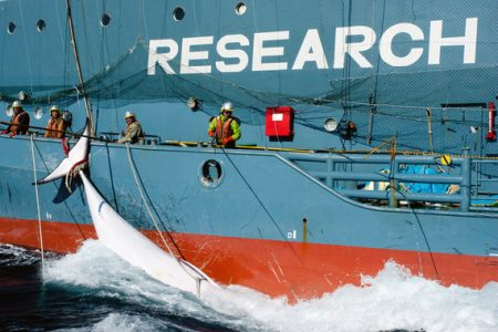 Japanese whaling: 'scientific research' peer-reviewed